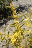 Australian wattle in spring with yellow flowering bloom on rock. Australian wattle in spring with yellow flowering bloom on a rock formation in Sydney Australia Stock Photos