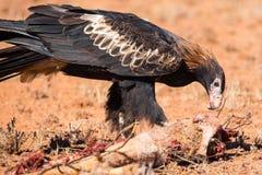 Australian Wedge-tail Eagle Eating a Kangaroo royalty free stock images