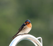Australian Welcome Swallow perched on a stainless steel railing Royalty Free Stock Photos