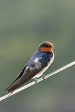 Australian Welcome Swallow. Perched on stainless steel wire ( Hirundo neoxena Stock Photography