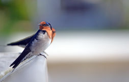Australian Welcome Swallows Royalty Free Stock Photography