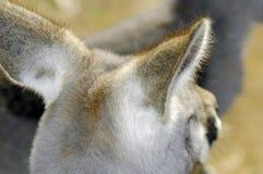 Australian Western Grey Kangaroo in Natural Setting. Australian Western Grey Kangaroo in Natural Setting, closeup of back ears stock image