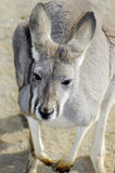 Australian Western Grey Kangaroo in Natural Setting. Young Australian Western Grey Kangaroo in Natural Setting, closeup royalty free stock images