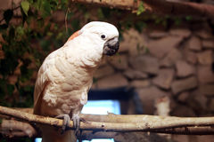 Australian white cockatoo Stock Image