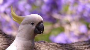 Australian white cockatoo in a jacaranda tree stock image