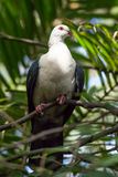 Australian White-headed Pigeon perching in t Stock Photo