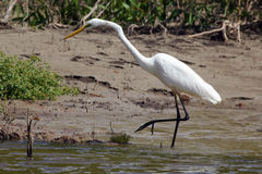 Australian white heron Royalty Free Stock Photo