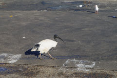 Australian white ibis. At fish market in Sydney, New South Wales, Australia Royalty Free Stock Photo