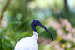 Australian White Ibis against vegetation.  Stock Photo