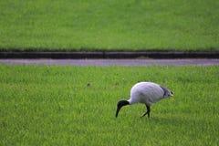 Australian White Ibis bird. Shallow DOF Stock Image