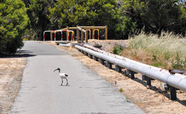 Australian White Ibis Crossing the Trail Royalty Free Stock Photos