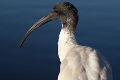 Australian White Ibis Head in Sunlight Royalty Free Stock Photography