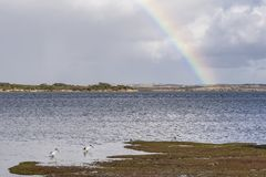 Australian White Ibis in the Kangaroo Island Sea with a rainbow in the background, Western Australia stock photo