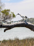 Australian White Ibis: Lake Coogee, Western Australia Stock Photo