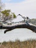 Australian White Ibis: Lake Coogee, Western Australia stock photo