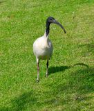 Australian White Ibis stock photography