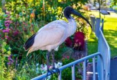 Australian white ibis in the Royal Botanic Garden of Sydney, Australia. Royalty Free Stock Photos