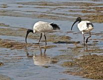 Australian white ibis scavenger for food. A pair of Australian white ibis probe for food in the shallows Stock Images