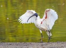 Australian White Ibis Stock Photography