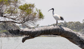 Australian White Ibis Standing Tall royalty free stock photos