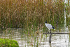 Australian White Ibis standing on wooden pole above Lake Albert,. Australian White Ibis with white plumage and black head standing on wooden pole above Lake Royalty Free Stock Image