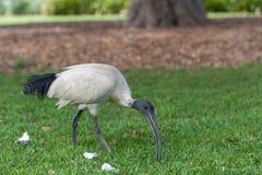 Australian white ibis. Threskiornis molucca. Eating Grass in Sydney Park, Australia. Stock Photos