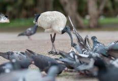 Australian white ibis. Threskiornis molucca. Feeding Dove in Sydney park with rice. Australia Royalty Free Stock Photos