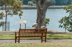 Australian white ibis. Threskiornis molucca seating on bench in  Royal Botanic Gardens Sydney. Royalty Free Stock Images