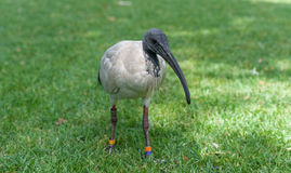 Australian white ibis. Threskiornis molucca. Sydney Park, Australia. Rings on elgs. Portrait. Stock Photography