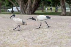 Australian white ibis. Threskiornis molucca in Sydney park with rice. Australia Stock Photography