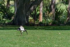 Australian white ibis. Threskiornis molucca. Walking and eating in Sydney Park, Australia. Royalty Free Stock Photography