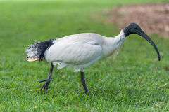 Australian white ibis. Threskiornis molucca. Walking in Sydney Park, Australia. Stock Image