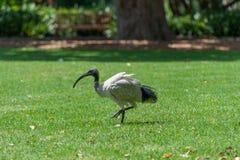 Australian white ibis. Threskiornis molucca. Walking in Sydney Park, Australia. Royalty Free Stock Image