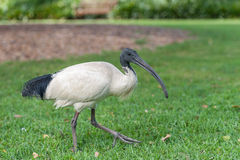 Australian white ibis. Threskiornis molucca. Walking in Sydney Park, Australia. Closeup Royalty Free Stock Image