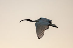 Australian White Ibis (Threskiornis moluccus) Flying at Sunset Royalty Free Stock Photos