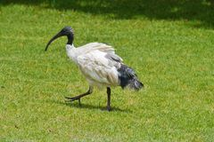 Australian White Ibis Stock Photos