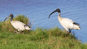 Australian White Ibis Royalty Free Stock Images