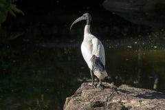 Australian white ibis (Threskiornis moluccus) Royalty Free Stock Photography