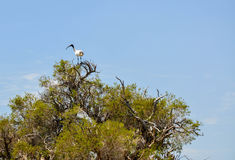 Australian White Ibis: Tree Top Lookout Royalty Free Stock Photography