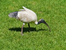 The Australian White Ibis in an urban park Royalty Free Stock Photography