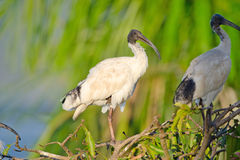 Australian White Ibis with warm Light, Australia Stock Photography