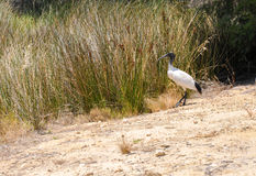 Australian White Ibis by Wetland Grasses Stock Photography