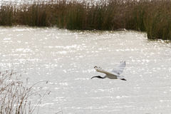 Australian White Ibis with white plumage and black head flying a Royalty Free Stock Photo