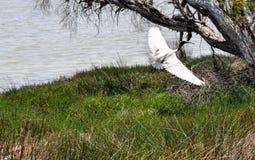 Australian White Ibis Wingspan Display Royalty Free Stock Images