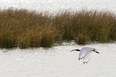 Australian White Ibis With White Plumage And Black Head Hovering Stock Photos