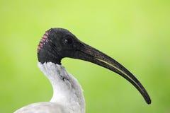 Australian white ibis (Threskiornis moluccus) Royalty Free Stock Image