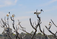 Australian White Ibises with a Blue Sky royalty free stock photo