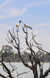 Australian White Ibises: Curved Beaks for Reaching. Australian White Ibises on a tree top with one reaching its long curved black beak downwards at the wetlands Stock Photos