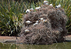 Australian White Ibises Nesting Colony in the hills above Adelaide. South Australia AUS stock images