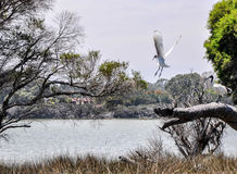 Australian White Ibises: Taking Flight at Lake Coogee stock photography